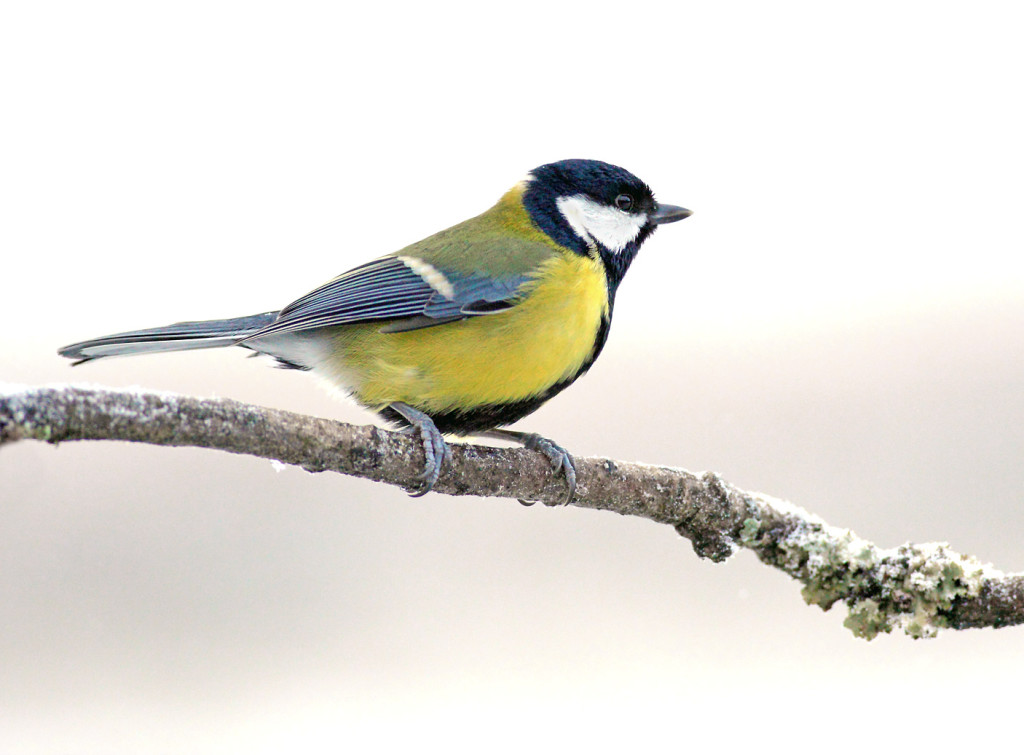 great-tit